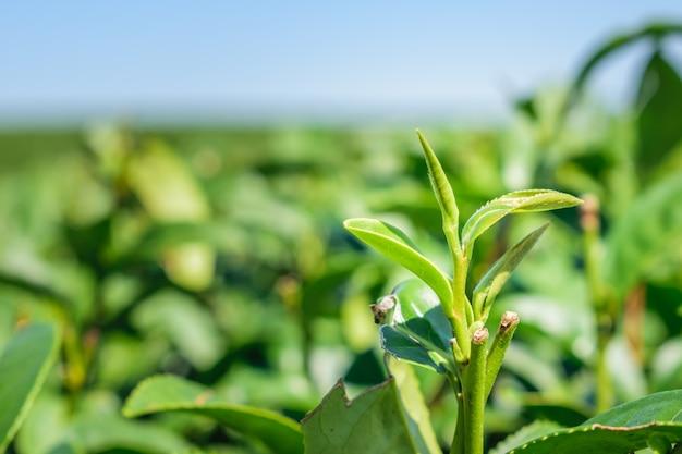 Chiuda sulle foglie di tè verde in azienda agricola sugli altipiani in campagna della tailandia