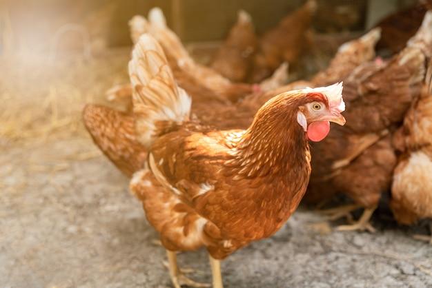 Chiuda sulle immagini dell'uccello dell'uovo del pollo nell'azienda agricola.