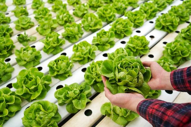 Chiuda sulle mani che tengono la lattuga nel giardino di coltura idroponica