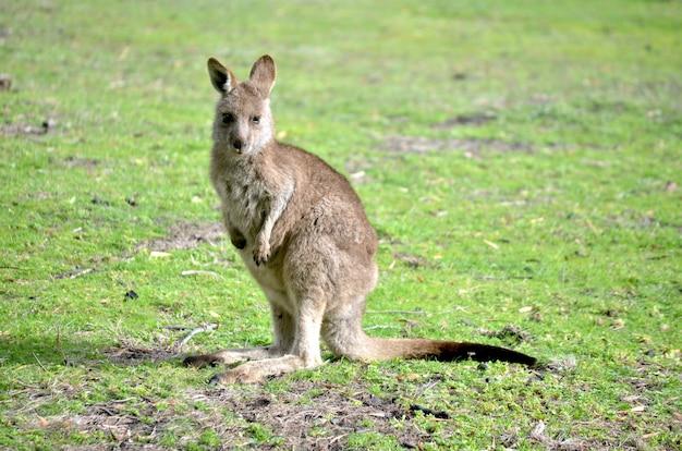 Chiudere il colpo di un canguro bambino in piedi su un campo erboso con uno sfondo sfocato