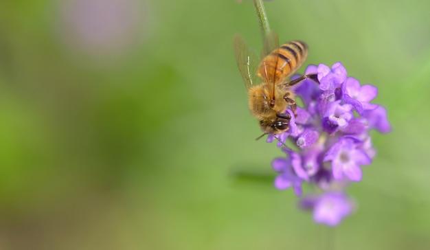 Chiudi su un'ape mellifera su un fiore di lavanda su verde