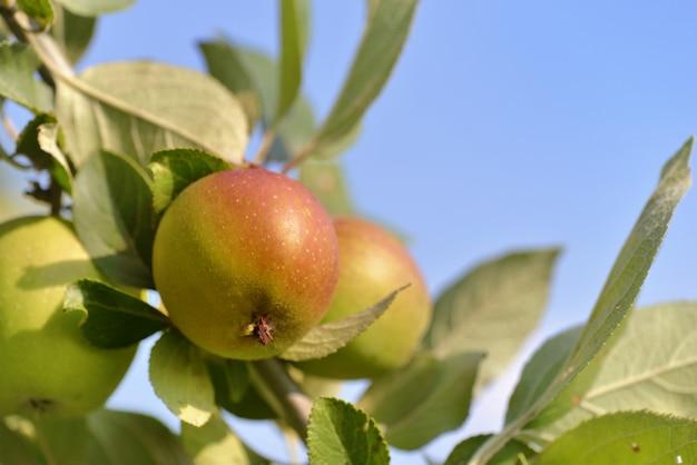 Chiudi sulla mela nell'albero