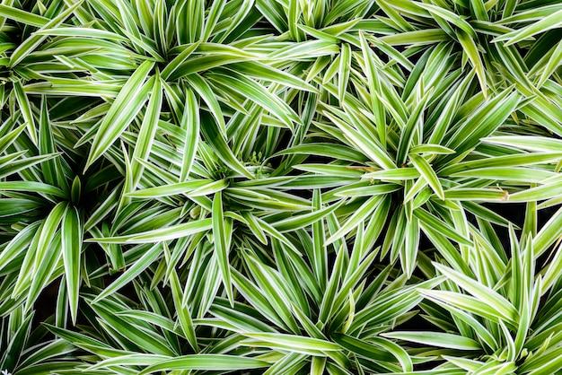 Cholorophytum comosum