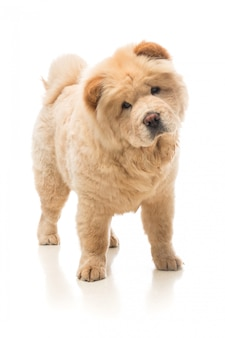 Chow-chow beige