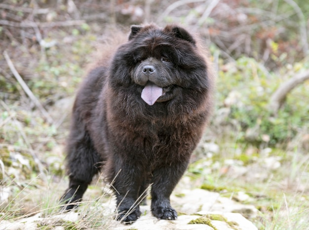 Chow chow in natura