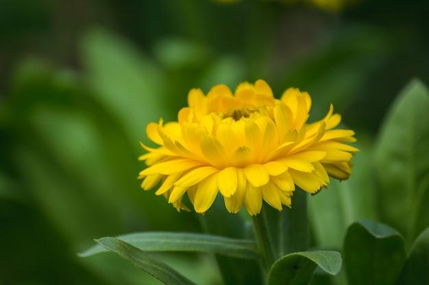 Chrysanthemum yellow è un altro tipo di legno che viene coltivato popolarmente.