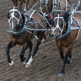 Chuckwagon dei cavalli che corre alla fuga precipitosa annuale di calgary, calgary, alberta, canada