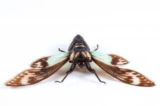 Cicadidae sp cicala gambe