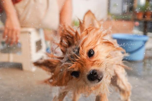 Ciclo di centrifugazione del cane, pomeranian o piccola razza di cani si scrollano di dosso per asciugare la sua pelliccia tra le docce