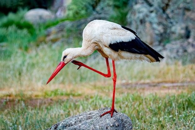 Cicogna bianca elegante