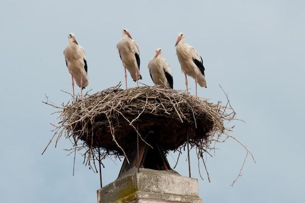 Cicogna bianca nel nido