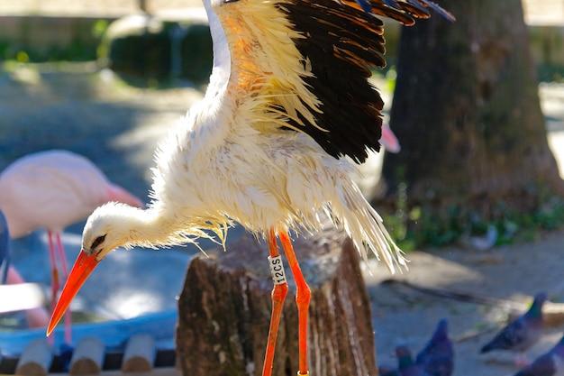 Cicogna bianca