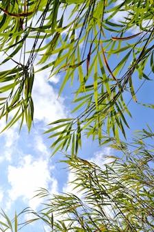 Cielo blu di bambù della foglia