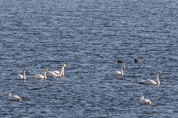 Cigni selvatici, cygnus cygnus e anatre germano reale nell'acqua di hananger a lista, norvegia