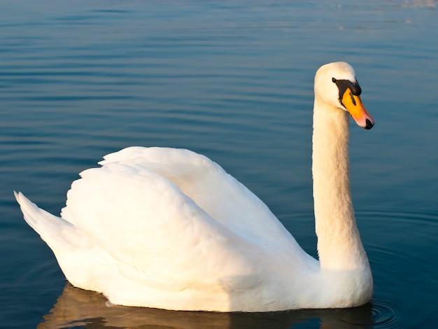 Cigno bianco sul lago