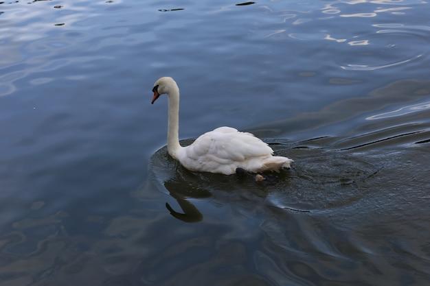 Cigno nel lago
