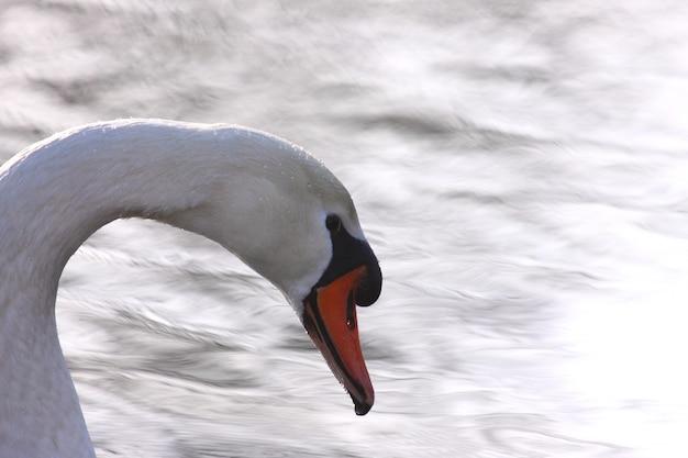 Cigno selvatico muto sul suo lago in francia.