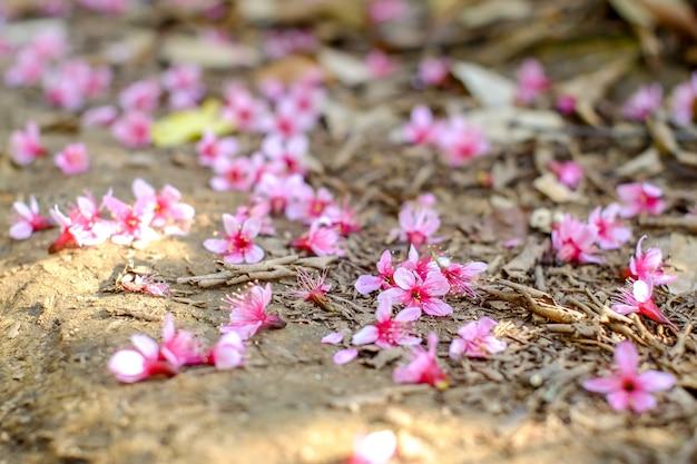 Ciliegia himalayana selvatica