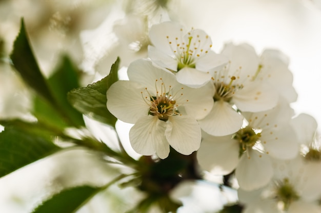 Ciliegia in fiore con fiori sanguinati