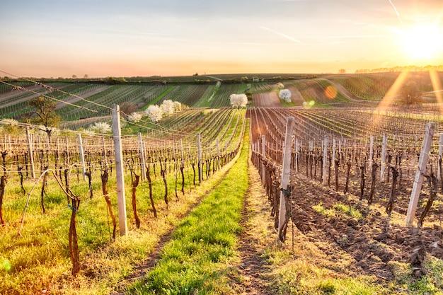 Ciliegio sbocciante solo bianco fra le vigne.
