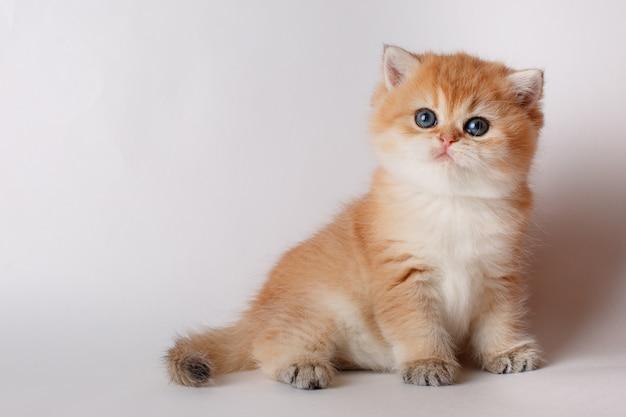 Cincillà dorato del piccolo gattino sveglio britannico su fondo bianco