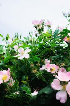 Cinorrodo fiorito