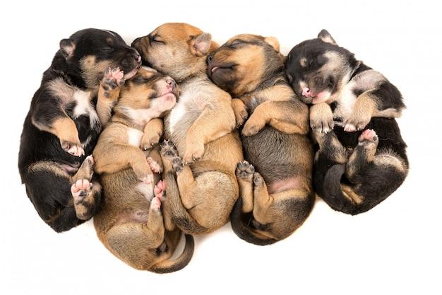 Cinque cucciolo neonato sulla vista superiore del fondo bianco