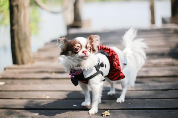 Cioccolato della chihuahua e cane bianco di colore sul ponte di legno vicino al fiume.