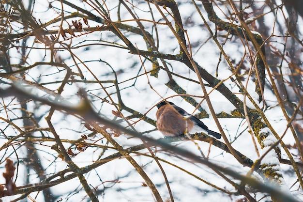 Ciuffolotto uccello femmina tra i rami di un albero in inverno