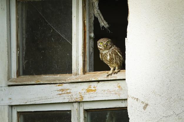 Civetta di curios che si siede nella finestra con vetro rotto di vecchia casa rovinata