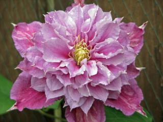 Clematis vicino