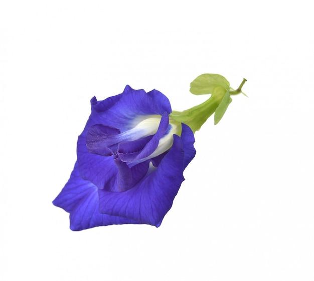 Clitoria ternatea o fiore di aparajita isolato su fondo bianco
