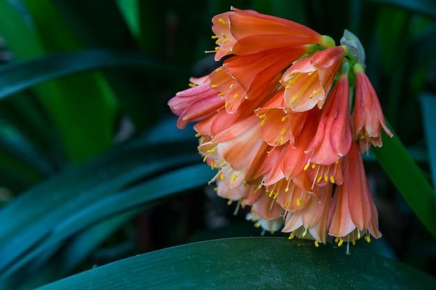 Clivia kaffir lily fiori d'arancio nel giardino buio
