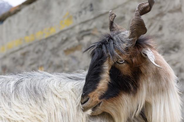 Close up capre del kashmir, in india