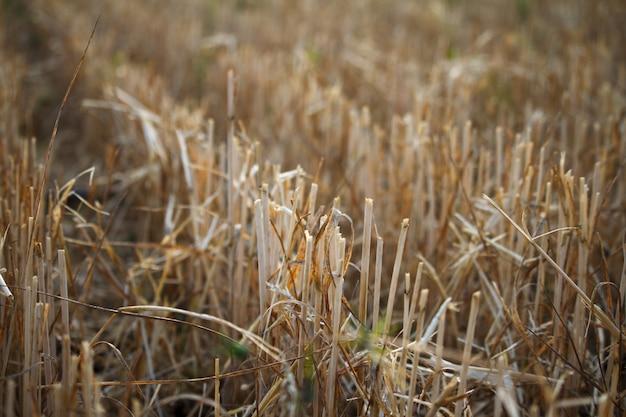 Close-up della stoppia di un campo di grano falciato di grano, filari di orecchie su un campo falciato