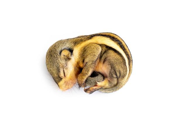 Close-up di baby scoiattolo a strisce birmano