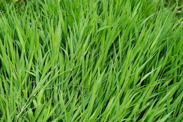 Close-up di erba verde