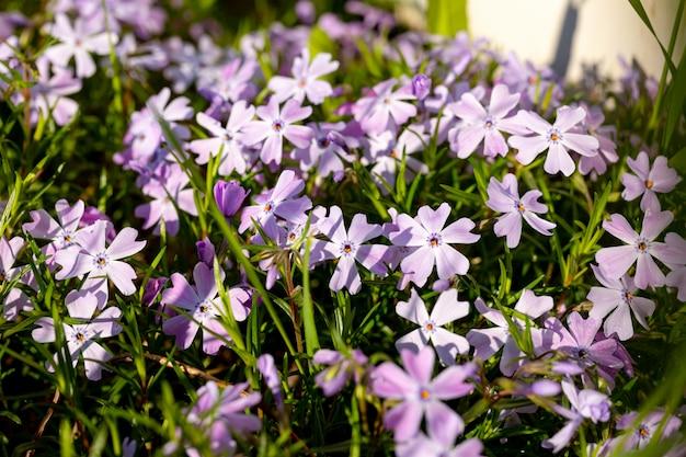 Close-up di fiori phlox subulata sul prato vicino a una recinzione di plastica bianca in un tipico villaggio cottage. il concetto di abbellimento, abbellimento