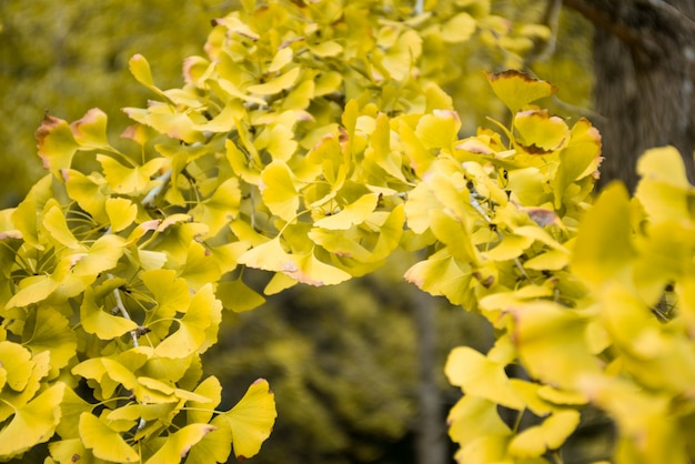 Close-up di foglie di ginkgo biloba gialla