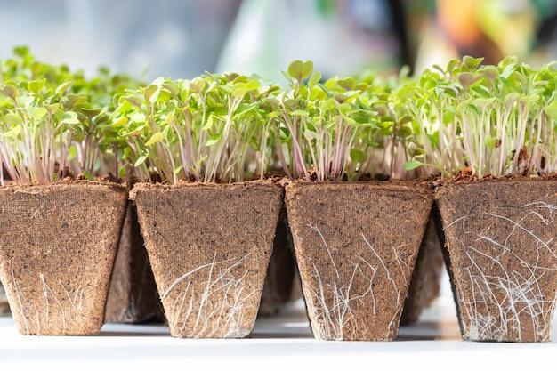 Close up di giovani rucola germogli verdi con radici in vaso di torba biodegradabile per piantina, pronto per il trapianto