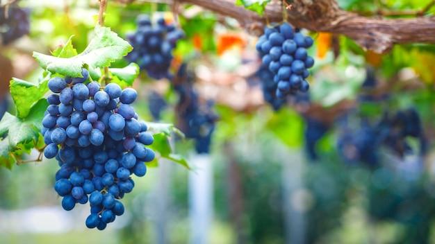 Close-up di grappoli di uva rossa matura sulla vite