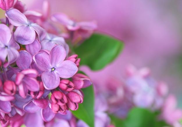 Close-up di lillà