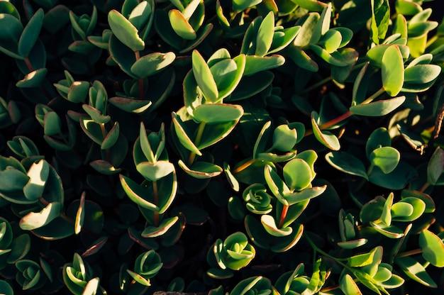 Close-up di piante succulente alla luce del sole. macro. erba in giardino