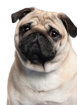 Close-up di pug, 2 anni,