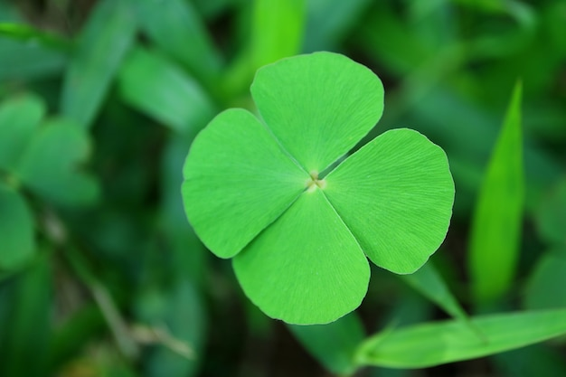 Close-up di quattro foglie di trifoglio o trifoglio, fuoco selettivo e sfondo sfocato