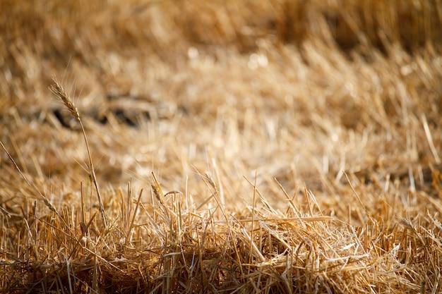 Close-up di spighe di grano singolo contro uno sfondo di stoppie offuscate da un campo di grano
