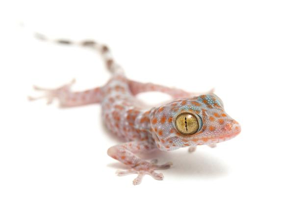 Close-up di tokay gecko rettile