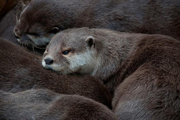 Close-up di una famiglia di lontre coccolati insieme