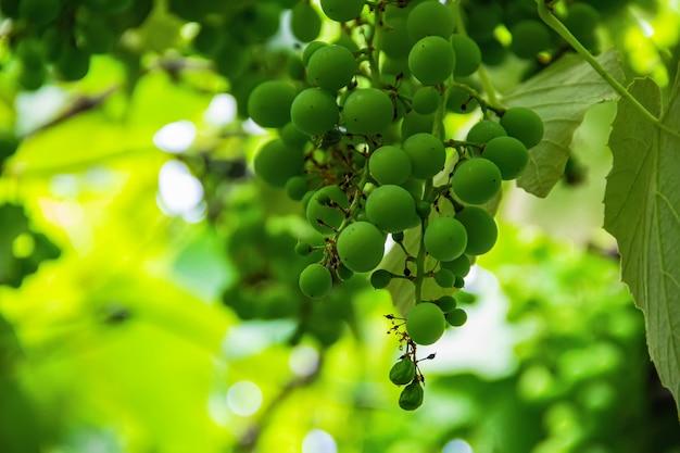 Close-up di uva fatta in casa.
