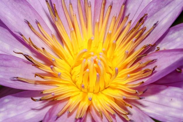 Close up fiore di loto di colore giallo e viola è così bello